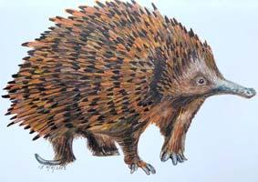 Attenborough's Long-Beaked Echidna