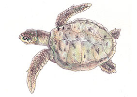 Kemp's Ridley Sea Turtle (Lepidochelys kempii) - This is the rarest species of sea turtle, and was named after Richard Moore Kemp during the 1800s.