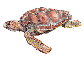 Loggerhead turtle (Caretta caretta) - The average loggerhead measures around 90cm in carapace length when fully grown.