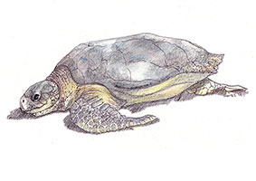 Flatback Turtle (Natator depressus) - The turtle gets its common name from its flattened shell, which has a lower dome than other sea turtles.