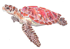 Hawksbill Sea Turtle (Eretmochelys imbricata) - Classified as critically endangered, the hawksbill is easily distinguished by its sharp, curving beak.