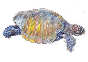 Olive Ridley Turtle (Lepidochelys olivacea) - This species is the second smallest turtle species, and the most abundant of all sea turtles.