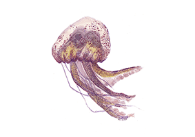 Mauve Stinger (Pelagia noctiluca) - This jellyfish glows in the dark, and is found in tropical and warm temperature seas.
