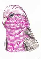 Pink Gala Cockatoo