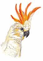 Citron Crested Cockatoo